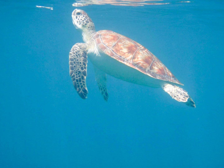 We always spot lots of sea turtles snorkeling in Turks & Caicos!